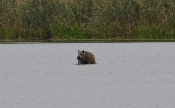 können wildschweine schwimmen